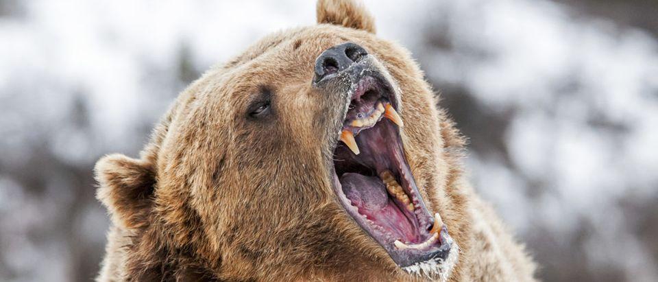 Grizzly Roaring a Warning (SHUTTERSTOCK: By Scott E Read)