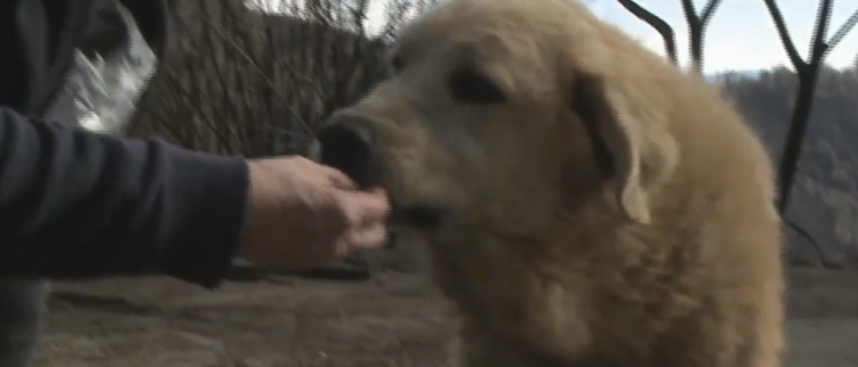 Lost dog returns to owners after camp fire (screengrab)