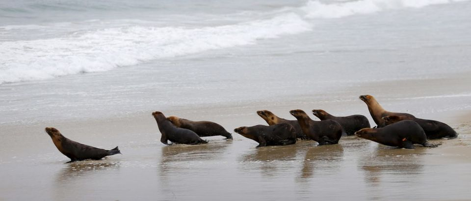 Ten sea lions, rescued by the Pacific Marine Mammal Center, sprint to their ocean home in Laguna Beach, California June 2, 2015. These sea lion patients were also the victims of a horrific attack that took place at the Centerin April, when seventeen young sea lions suffered trauma after someone filled their pool with chlorine - an apparently intentional act which is still under investigation. REUTERS/Mike Blake