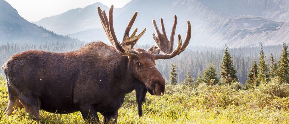 Bull Moose (Shutterstock/Michael Liggett)
