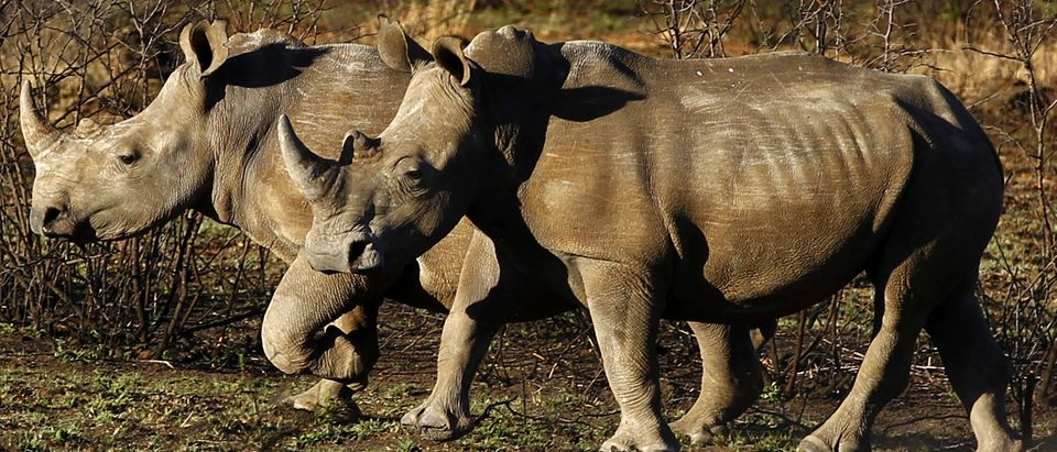 Rhinos are seen at the Mafikeng Game Reserve in the North West province, November 11, 2010. Poaching in South Africa has increased this year owing to booming demand and rising prices for rhino horn from increasingly rich Asian markets, where it is used as a medicine. REUTERS/Siphiwe Sibeko