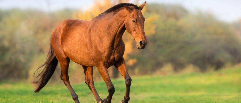 Horse running (Shutterstock/Kwadrat)
