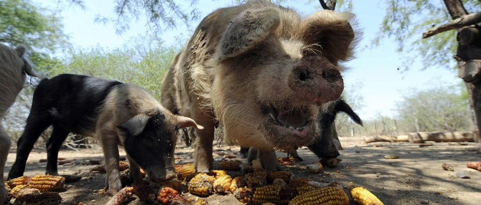 Pigs belonging to Juan Carlos Cordero eat corn in Tapso, some 130 km of Santiago del Estero on November 13, 2010. (JUAN MABROMATA/AFP/Getty Images)