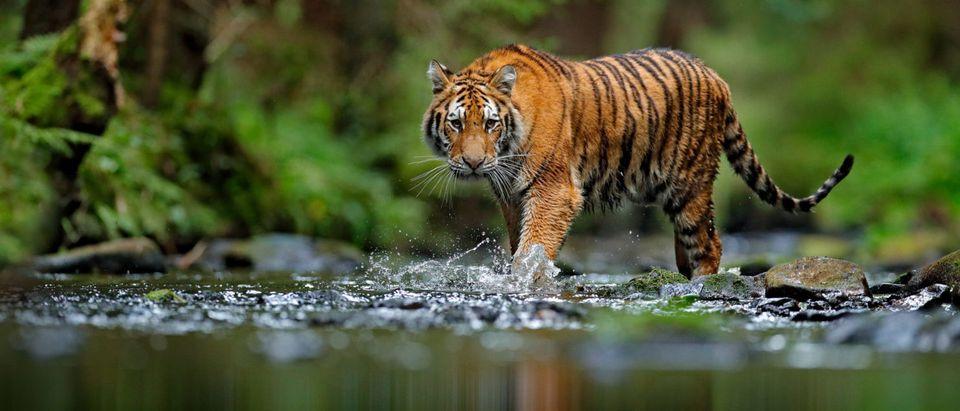 A tiger (Shutterstock/ Ondrej Prosicky)