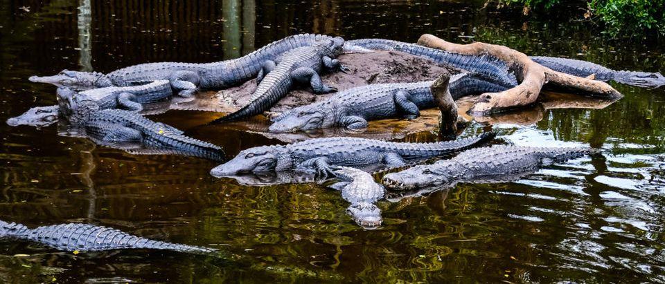 St. Augustine Alligators