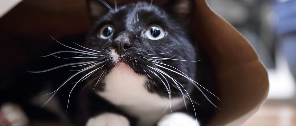 Black and white cat in a paper bag. Shutterstock/Suzanne Tucker