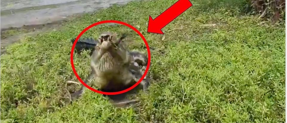 Crocodile (Credit: Screenshot/ Video https://ca.news.yahoo.com/crocodile-denies-fisherman-catch-day-163215169.html)