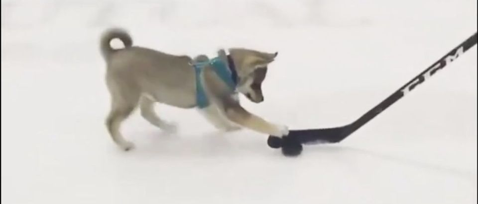 Dog hockey (Credit: Screenshot/Twitter Video https://twitter.com/espn/status/1103062852095619073)