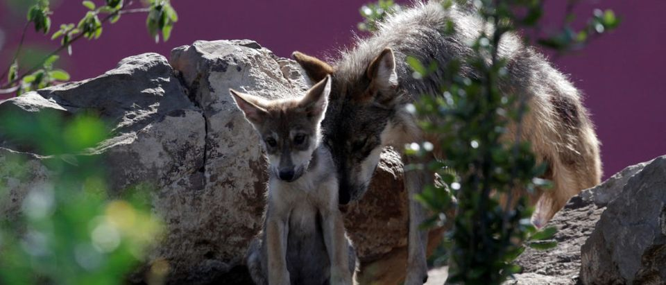 A newly born Mexican gray wolf cub, an endangered native species, interacts with his mother at its enclosure at the Museo del Desierto in Saltillo, Mexico, July 19, 2016. REUTERS/Daniel Becerril