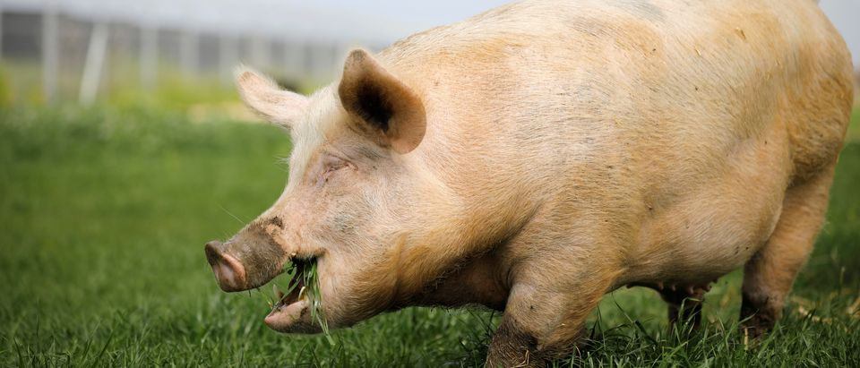 "A pig named Yossi, grazes at ""Freedom Farm"" which serves as a refuge for mostly disabled animals in Moshav Olesh, Israel"