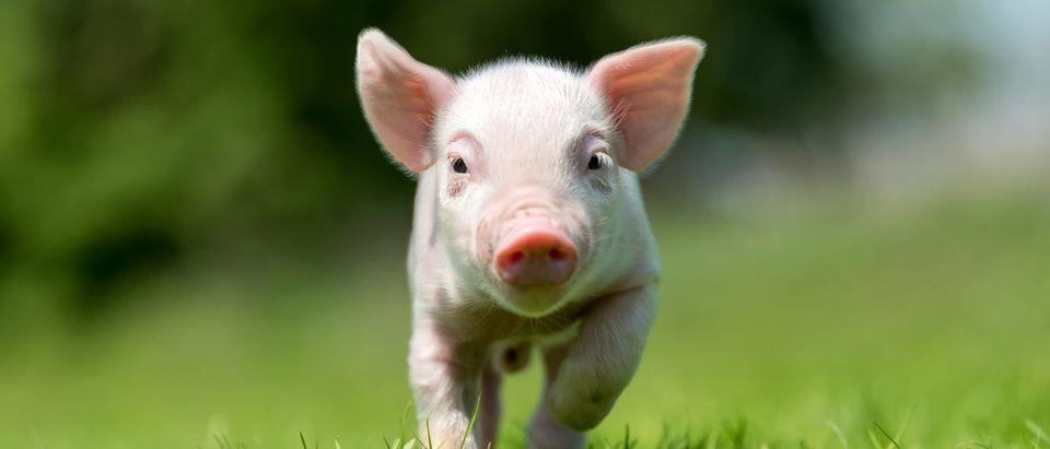 Piglet (Shutterstock/Volodymyr Burdiak)