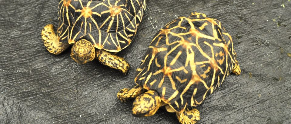 Star tortoise back focus. (thanakarn Singto/Shutterstock)