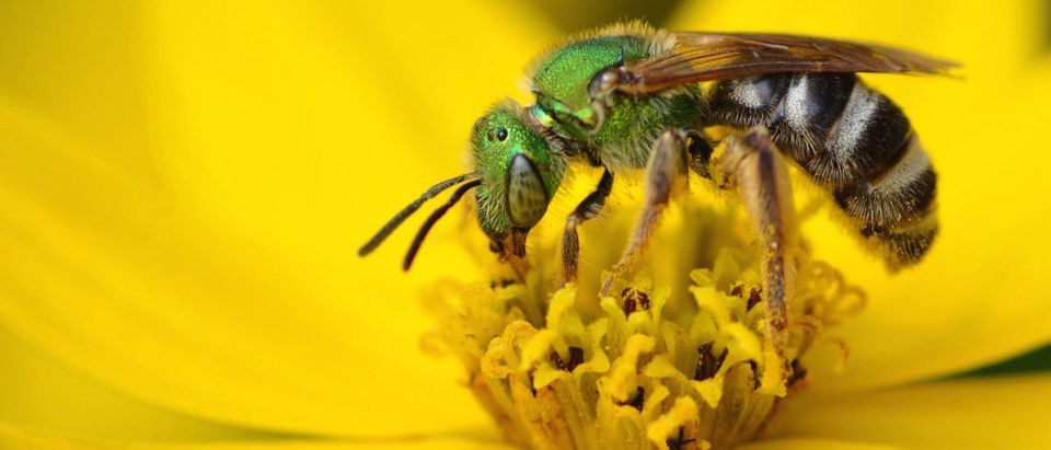 A Metallic Green Sweat Bee feeds on a Tick Seed flower. Barbara Storms/Shutterstock.com