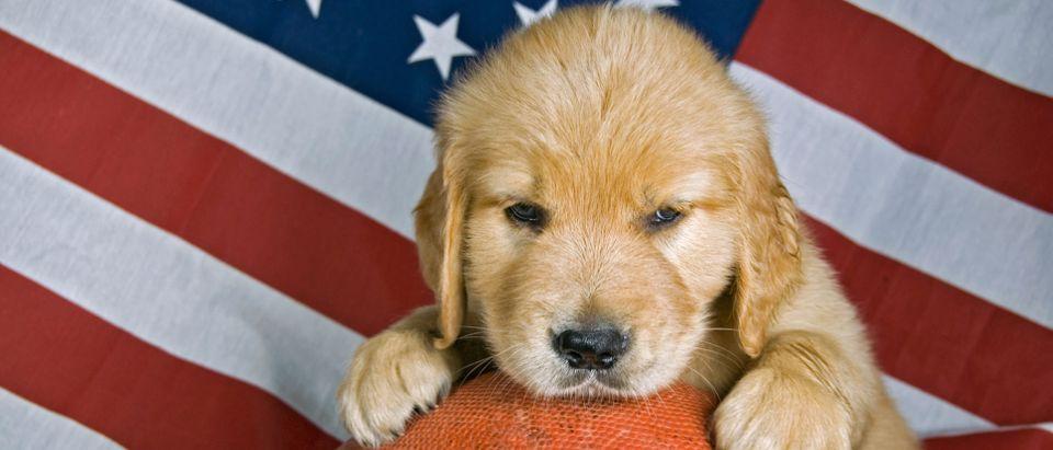 Golden retriever puppy, American flag, football/ Shutterstock