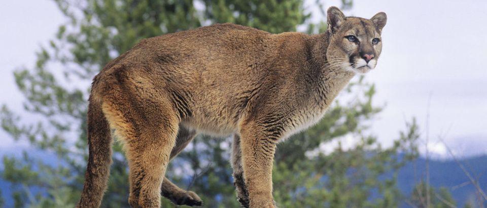 Mountain-Lion-Shutterstock