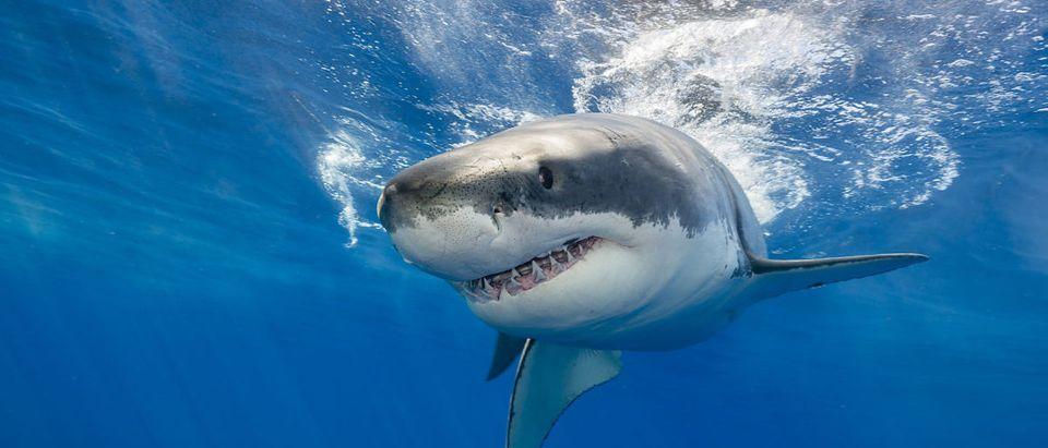 A man died from an apparent shark attack. SHUTTERSTOCK/ wildestanimal