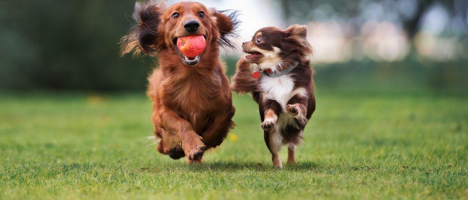 Two little dogs running (Shutterstock/Otsphoto)