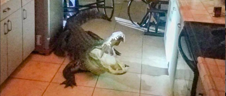 Florida-Gator