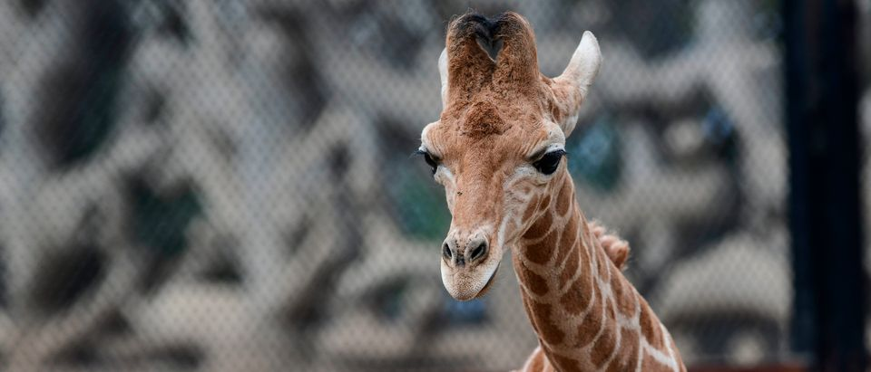 A one-month-old giraffe is pictured at the Chapultepec zoo in Mexico City. (RONALDO SCHEMIDT/AFP/Getty Images)