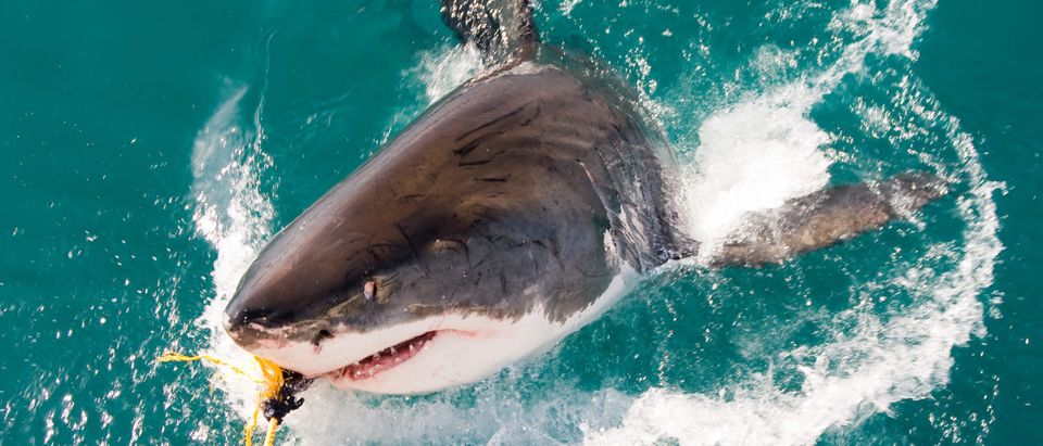 A shark jumps out of the water. Shutterstock image via Natursports