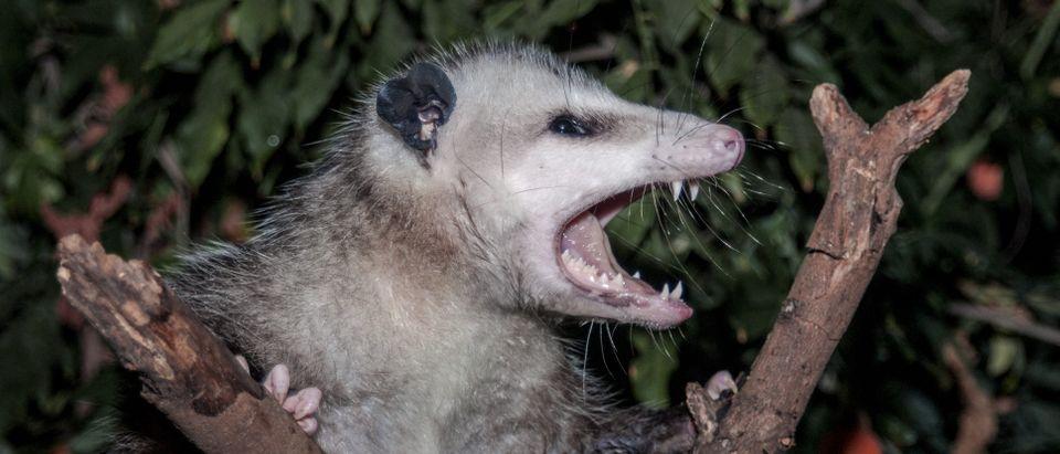 Possum in a tree (Shutterstock/Nick Pecker)