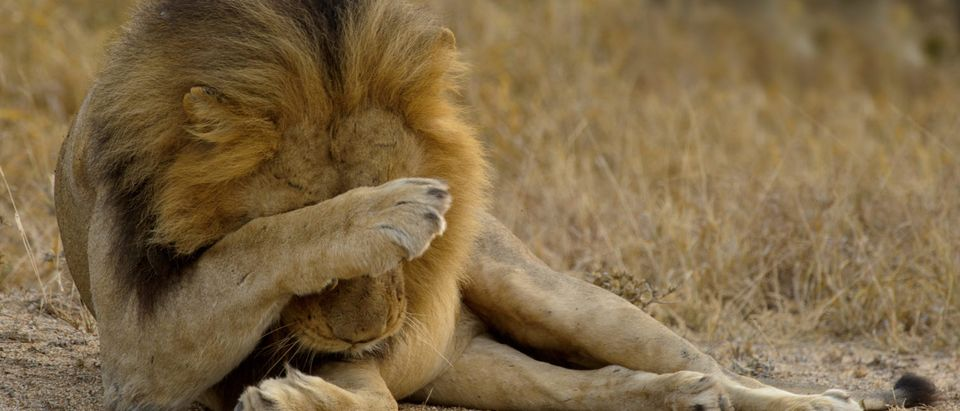 Lion, ashamed