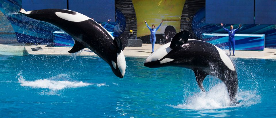 Trainers have Orca killer whales perform for the crowd during a show at the animal theme park SeaWorld in San Diego, California