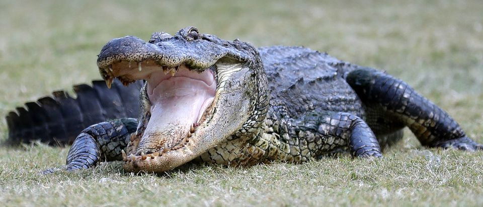 An alligator is seen near the seventh green during the third round of the Zurich Classic at TPC Louisiana on April 28, 2018 in Avondale, Louisiana. (Photo by Rob Carr/Getty Images)