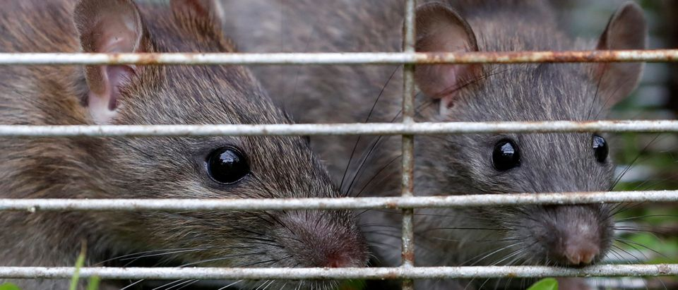 Rats are trapped in a cageÊin Vertou near Nantes, France, June 5, 2019. REUTERS/Stephane Mahe