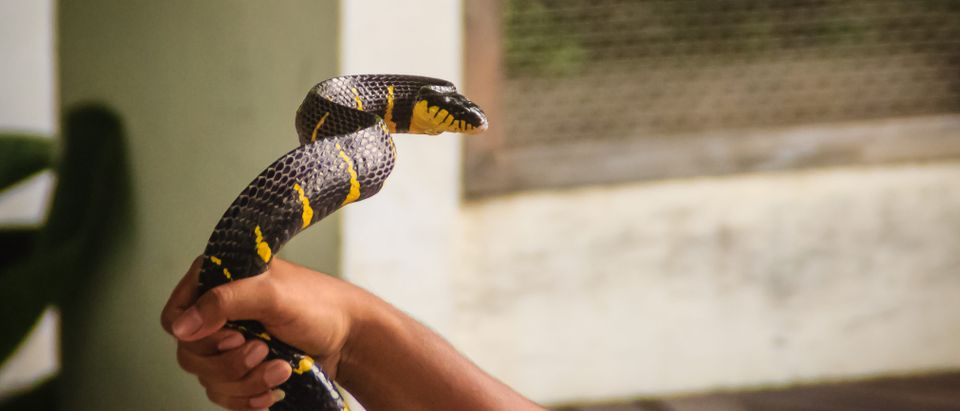 A man is using bare hand to catch the Boiga dendrophila snake, commonly called the mangrove snake or gold-ringed cat snake. (Christopher PB/Shutterstock)