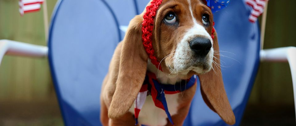 A patriotic puppy is pictured. Shutterstock