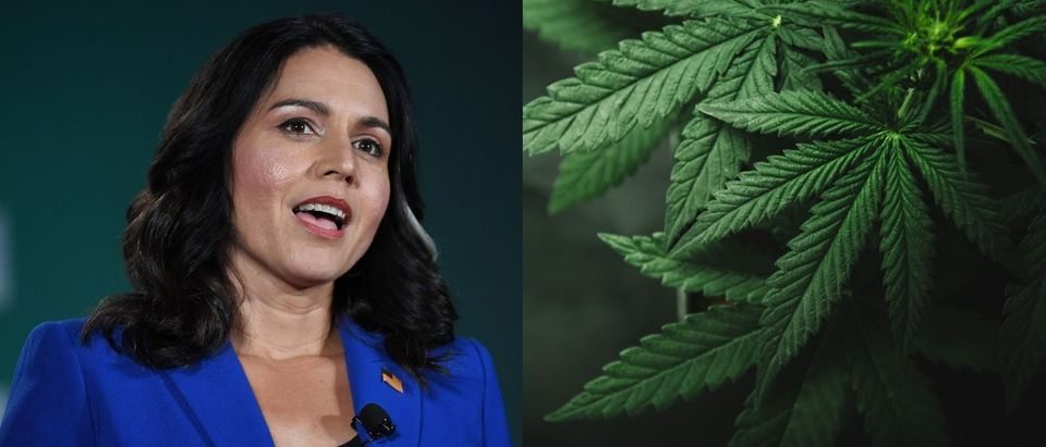 Presidential candidate and Democratic Hawaii Rep. Tulsi Gabbard touted marijuana decriminalization in a video on Aug. 16, 2019. Ethan Miller/Getty Images and Shutterstock image via Yarygin