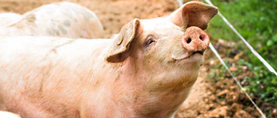 Pig (Credit: Shutterstock/Julia Lototskaya)