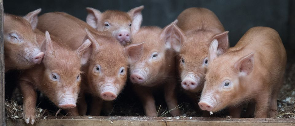 Rare Breed Lambs and Piglets Arrive At The Lost Gardens of Heligan