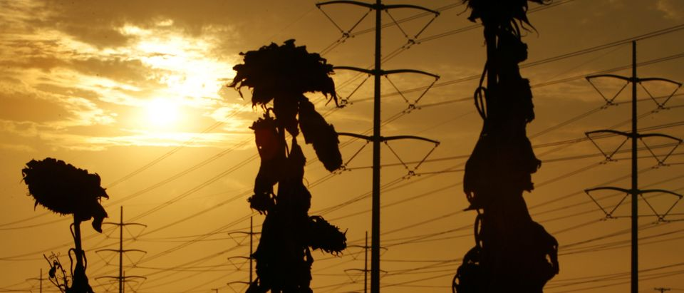 Withered sunflowers are silhouetted next to power lines in Carlsbad California as a heat wave strains the state's power grid. REUTERS/Mike Blake (UNITED STATES)