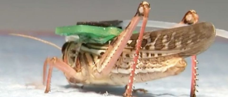Bomb Sniffing Locusts (Photo: YouTube Screenshot)