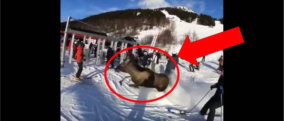 Moose_Ski_CouMoose on ski course in Sweden (Credit: Screenshot/YouTube Video https://www.youtube.com/watch?v=FWHeskHt1dY)rse_Sweden