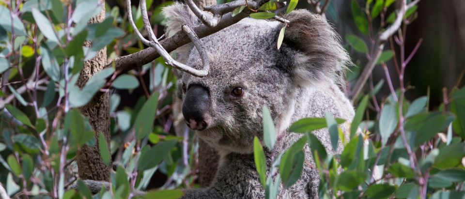 A koala is perched on an eucalyptus tree branch in its enclosure at the zoo in Los Angeles
