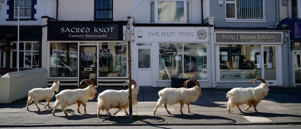 Goats Roam Welsh Town As Coronavirus Lockdown Empties Its Streets