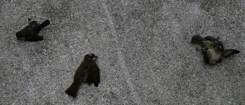 Dead birds are seen on the ground near Hong Kong Polytechnic University (PolyU) in Hong Kong
