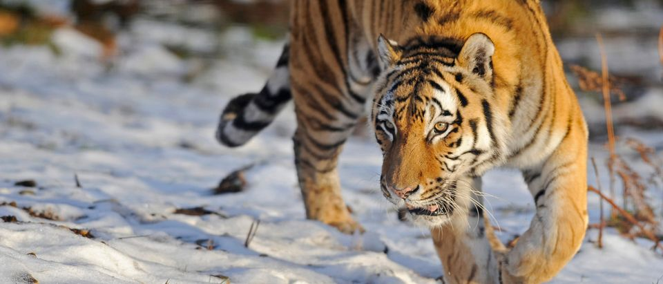 An Amur tiger (also know as a Siberian tiger) called Yuri walks in the snow in The Highland Wildlife Park in Kingussie near Aviemore, Scotland November 25, 2008. The park has two Amur tigers, which arrived from Edinburgh Zoo towards the end of September 2008. REUTERS/Russell Cheyne