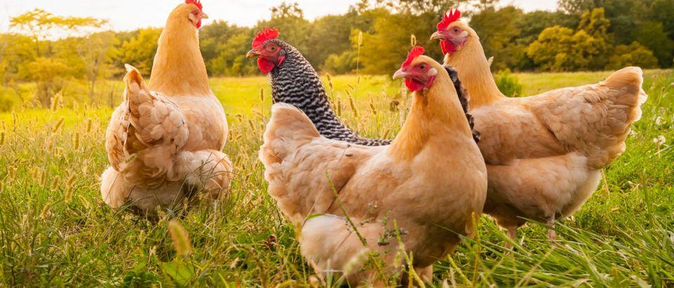 Chicken (Credit: Shutterstock/Moonborne)
