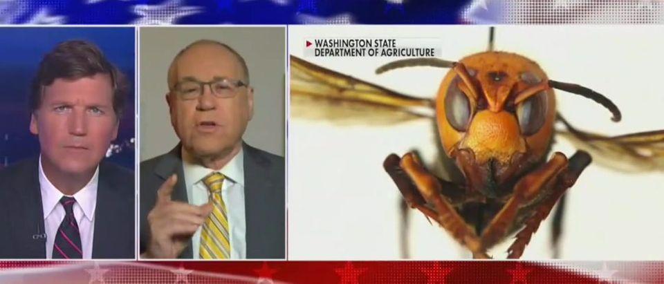 Dr. Marc Siegel discusses murder hornets (Fox News screengrab)