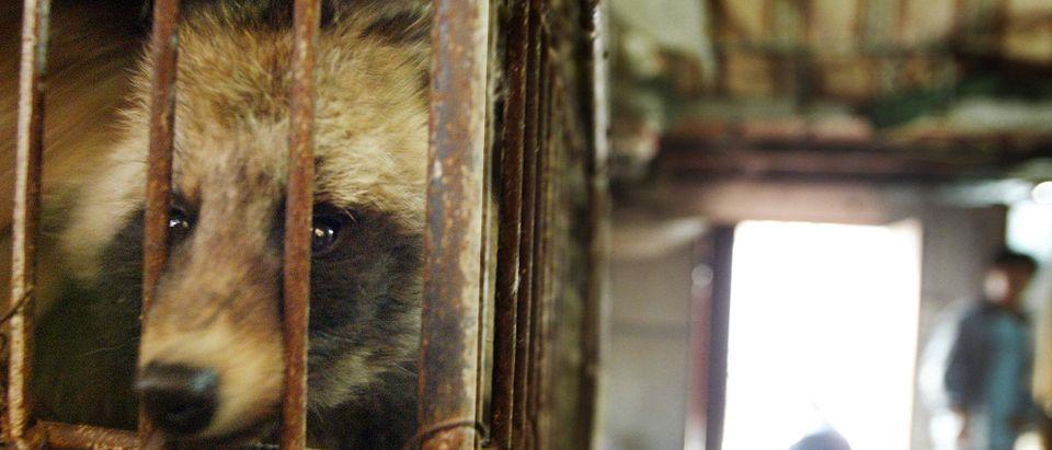 CHINA-SARS-GUANGZHOU-MARKET-RACCOON-DOG