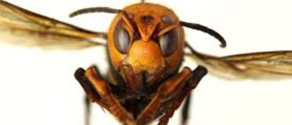 Asian Giant Hornets have invaded