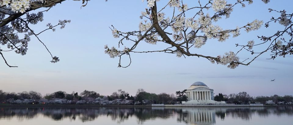 Cherry blossoms are seen in front of the Jefferson Memorial at the Tidal Basin on March 24, 2016 in Washington, DC. (Mandel Ngan/AFP via Getty Images)