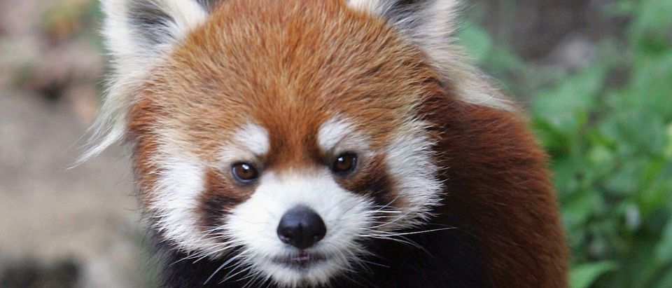 Lesser Panda Stands On Hind Legs In Japan Zoo