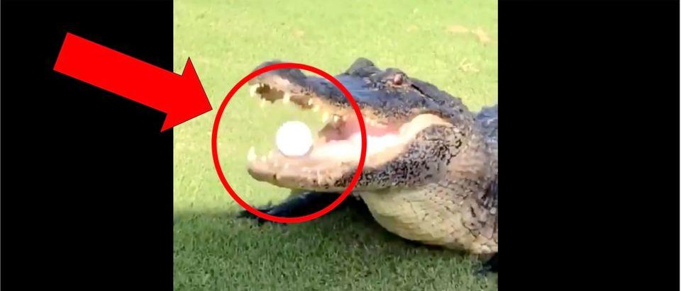 Alligator Golf Ball (Credit: Screenshot/Twitter Video https://twitter.com/barstoolsports/status/1296486789251833861)