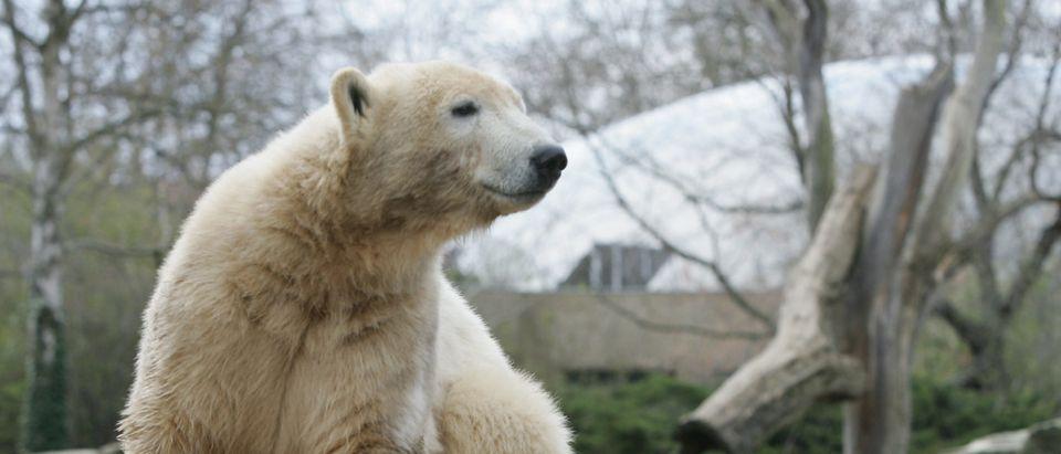Famous Polar Bear Knut