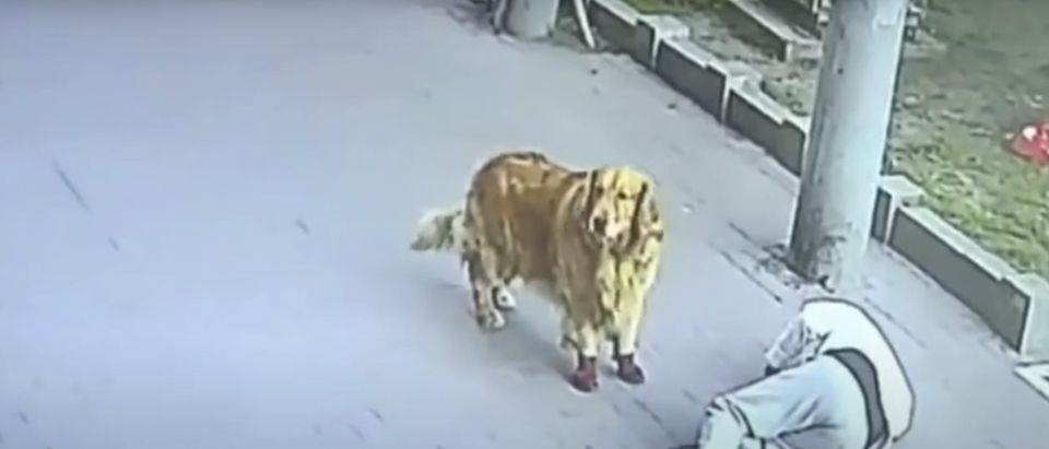 Golden retriever finds owner unconscious in Harbin, China after a cat falls on him from a balcony